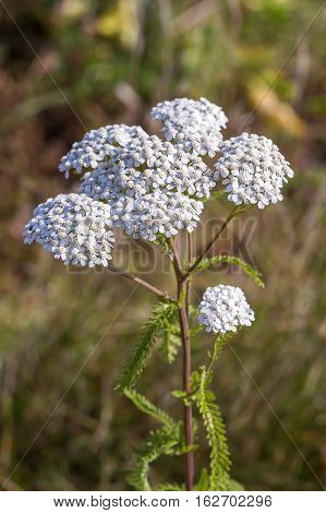 Medicinal wild herb Yarrow ( Achillea millefolilium ). The plant during flowering with pink-colored flower closeup