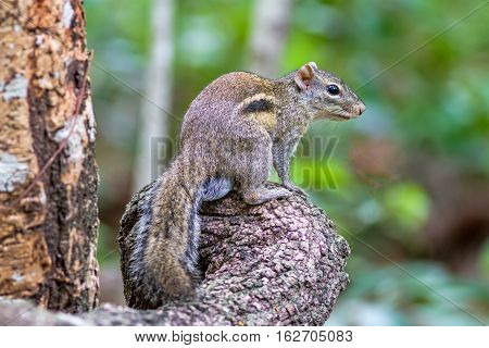 Beautiful of Menetes berdmorei (Indochinese ground squirrel Berdmore's ground squirrel Burmese Striped Squirrel Tamiops mcclellandii) on branch in Doi Inthanon Natural Park Chiangmai Thailand