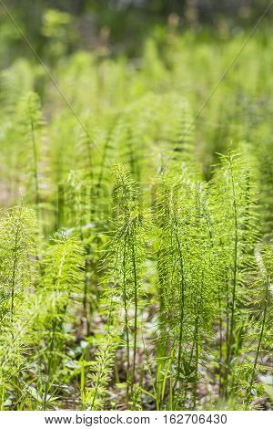 Horsetail meadow (lat. Equisetum pratense). The young shoots in the spring