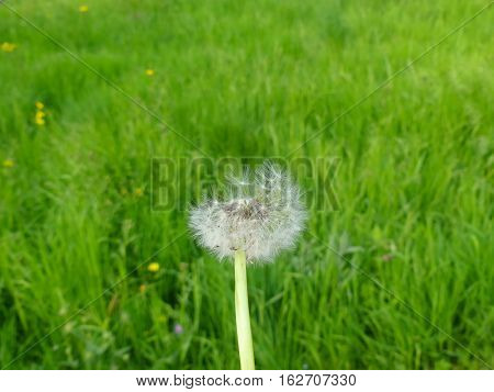 This is a mature dandelion in spring.