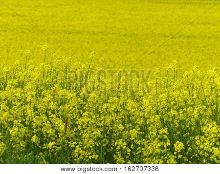 This is a nice rape field in spring.