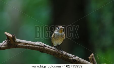 Red-throated Flycatcher On The Branches
