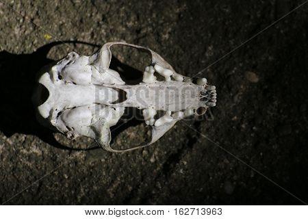 Skull Of A European Pine Marten (martes Martes) From Below