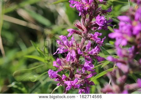Inflorescence Of A Lythrum Salicaria (purple Loosestrife) Plant