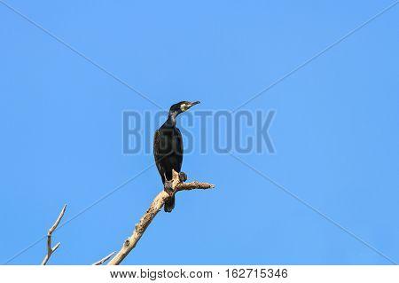 cormorant in a tree on blue sky background. Location: Danube Delta Romania