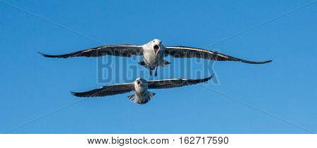 Flying  Shouting Kelp Gulls (larus Dominicanus), Also Known As The Dominican Gull And Black Backed K