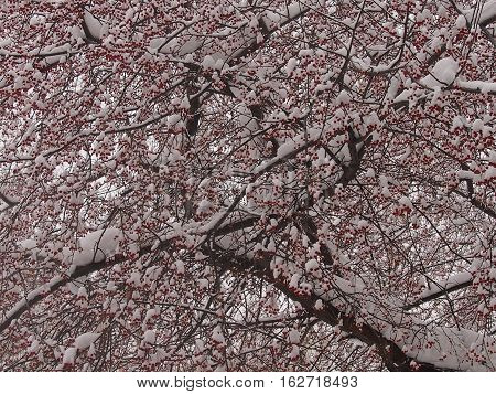 Small red apples on a tree are powdered with snow