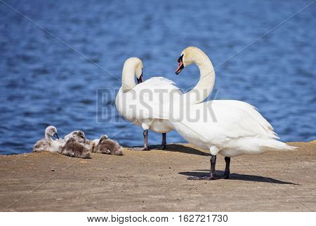 White Swan couple with nestlings. Birds family