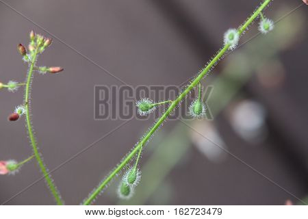 Hairy Fruits Of A Circaea Lutetiana (enchanters Nightshade) Plant
