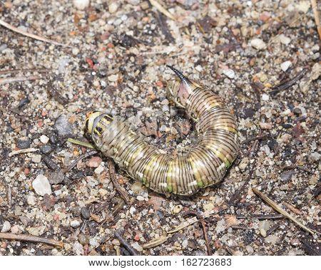 Pine hawk-moth Sphinx pinastri caterpillar on ground macro selective focus shallow DOF