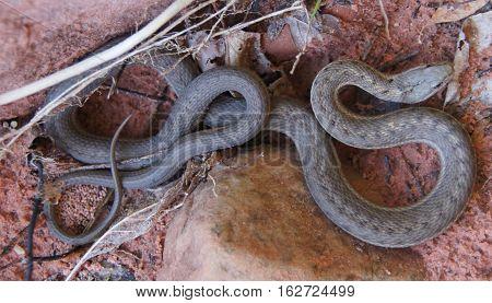 Western Terrestrial Garter Snake - Thamnophis elegans