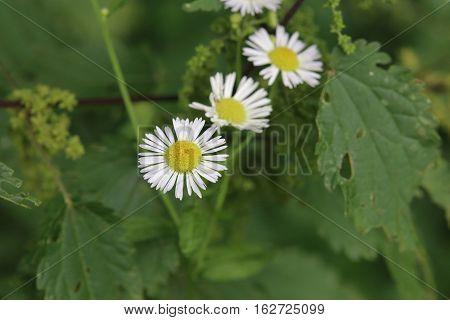 Three Blossoms Of Erigeron Annuus, The Daisy Fleabane