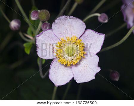 Japanese Anemone Anemone hupehensis flower macro at flowerbed with dark bokeh background selective focus shallow DOF