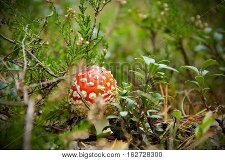 Red poisonous mushroom among the heather  in autumn pine forest. Focus on the pileus.