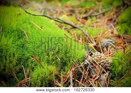 Green moss in pine forest, with pine cones, needles and twigs around. Focus in front cone. Backgroung is soft-focused.