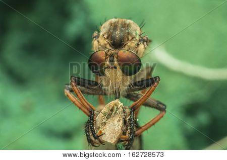 Robber fly eyes taken as macro shot extreme