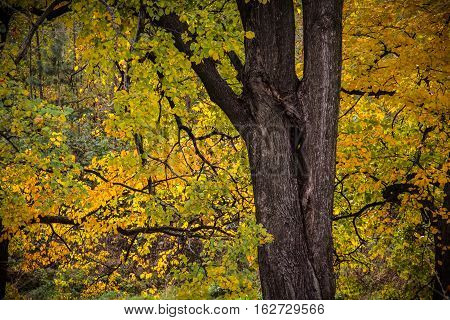 Autumn tree with yellow leaves. Autumn tree, the leaves partly yellowed. Focus on the trunk.