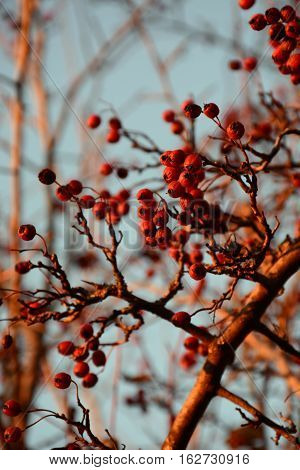 Dry and ripe red hawthorn berries branch in winter on tree and sky background