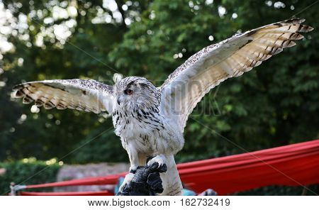Western Siberian Eagle-owl (bubo Bubo Sibiricus) Is Spreading Its Wings