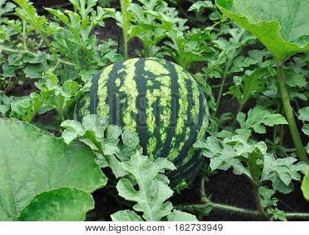 close-up of of ripening watermelon in the vegetable garden