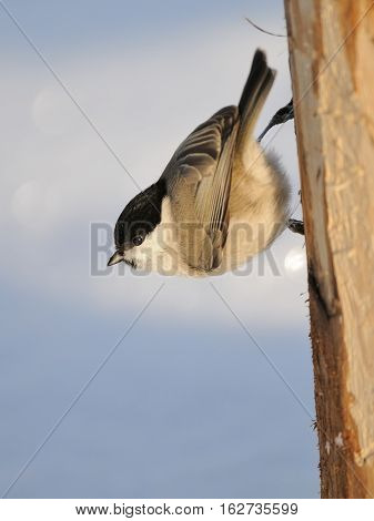 Perching Willow tit (Poecile montanus) upside down at sunny winter day. Kaluga region Russia