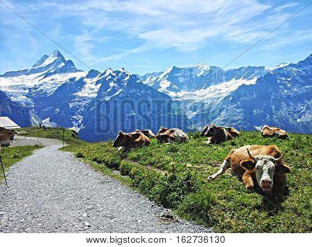Cow in Switzerland, vaca en  camino suizo