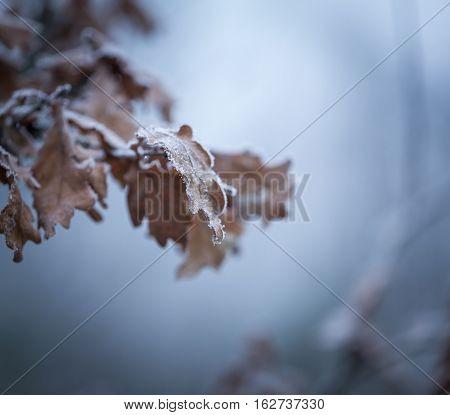 Beautiful Frozen Tree Branch With  Dead Leaves