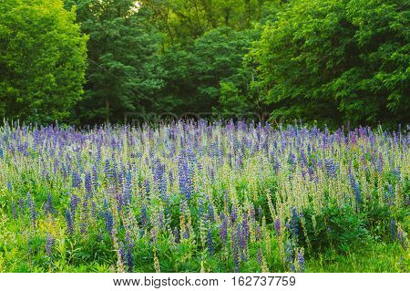 The Glade Of Wild Blossom Flowers Lupine In Summer Spring Meadow Field In Sunset Sunrise. Greenwood Background. Lupinus, Lupin Or Lupine, Is A Genus Of Flowering Plants In The Legume Family, Fabaceae.