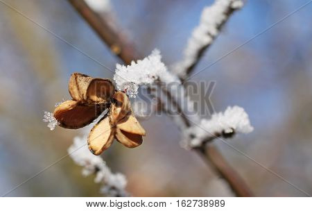 close photo of sear fruit of common spindle (Euonymus europaeus) with hoarfrost and snow
