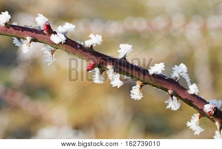 close photo of a thorny twig of wild rose bush with hoarfrost and crystals of snow