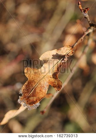 close photo of sear oak leaf with some glittering crystals of hoarfrost