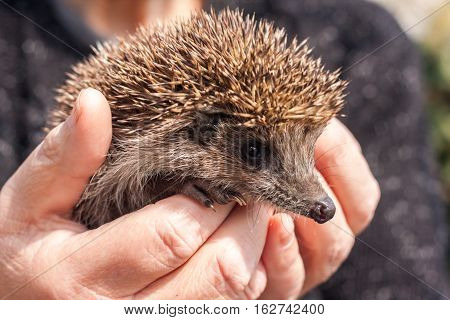 Small beautiful hedgehog in hands. Beautiful animal