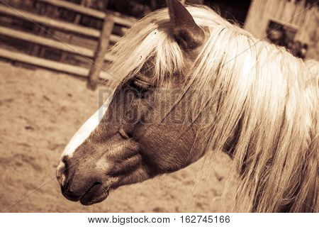 Beautiful brown horse with white arrow and mane in sepia