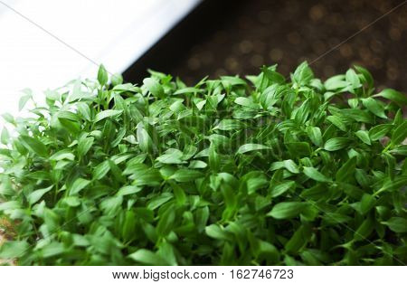 Seedling small pepper seedlings growing, plant  background