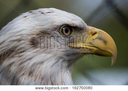 A captive bald eagle head profile facing right