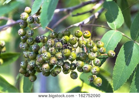 green berries on a background of leaves