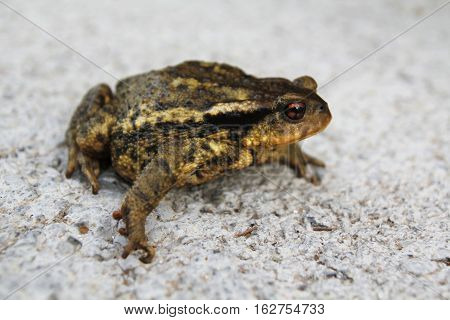 European toad close up on white background