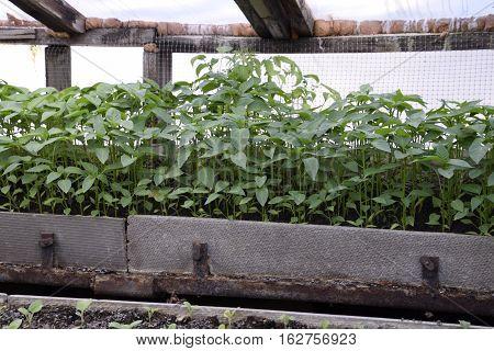 Seedlings In The Greenhouse. Growing Of Vegetables In Greenhouses.