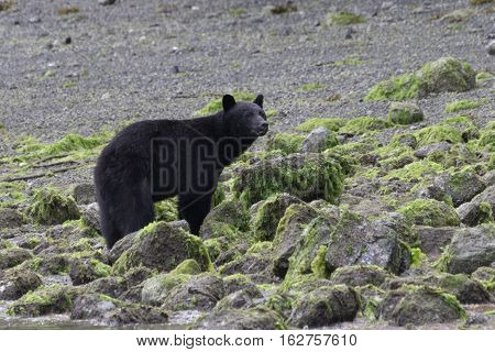 Wild black bear standing on a beach at low tide Tofino British Columbia Canada