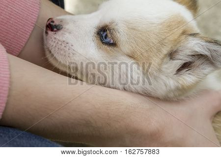 Siberian Husky Dog Outdoors With Woman's Hands Holding It. Portrait Of A Little Husky Dog Puppy. Clo