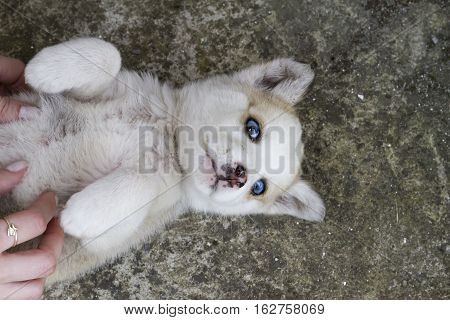 Siberian Husky Dog Lying Down With Woman's Hands Tickling It. Portrait Of A Little Husky Dog Puppy.