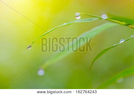 morning dew drops on green leaves in selective focus with blur green background and light flare
