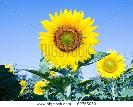 Yellow Sunflowers blooming in sunflower garden.
