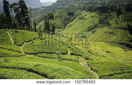Sri Lanka, Tea plantation, Nuwara Eliya District