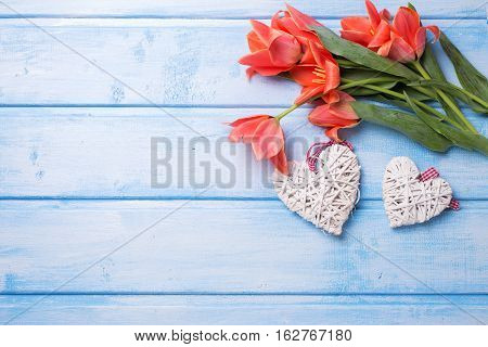 Two decorative hearts and aromatic coral color tulips flowers on blue painted wooden background. Selective focus. Place for text. Flat lay.