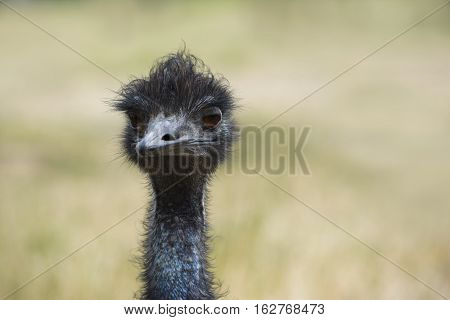 Head and neck shot of an Emu (Dromaius Novaehollandiae) facing forward. Shallow depth used leaving the natural background soft and blurred.
