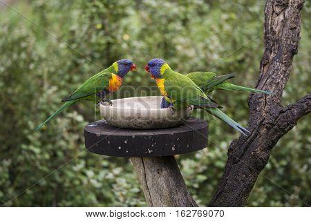 Three Wild Rainbow Lorikeets (trichoglossus Moluccanus) At Feeder