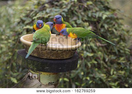 Four Wild Rainbow Lorikeets (trichoglossus Moluccanus) At Feeder