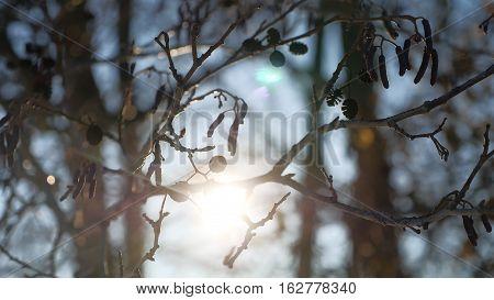 alder tree branch buds swaying wind spring nature offensive landscape