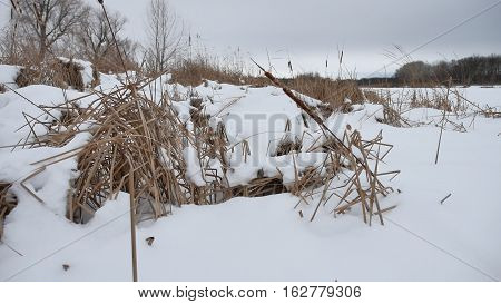 dry grass in snow on a river reeds beautiful winter landscape